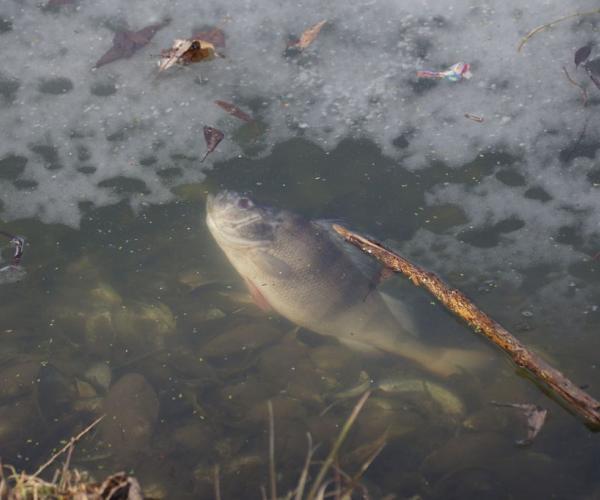 Рыба гибнет?