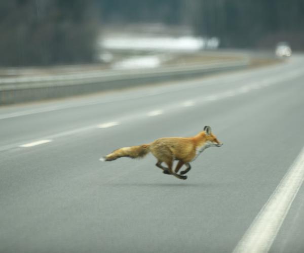 Внимание, животные на дороге!