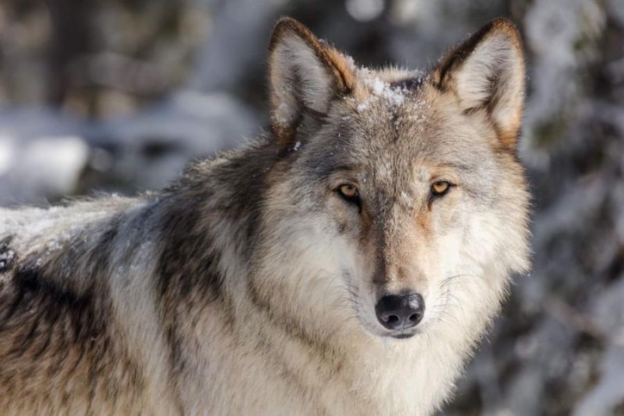 АПБ и онлайн-компания «Волчий блог» приглашают на ночную экскурсию по следам волка