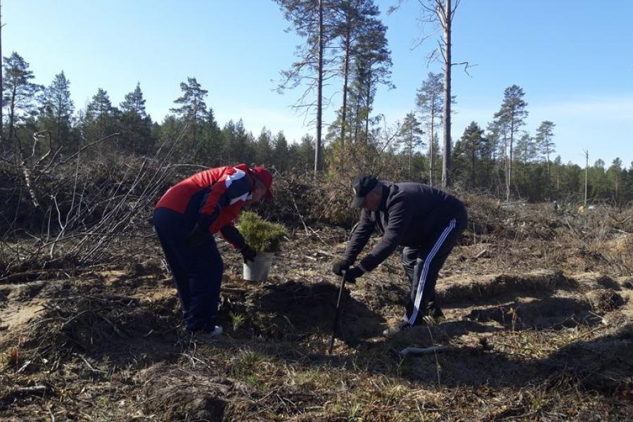 Амаль 40 тысяч дрэваў высадзілі ў Лагойскім раёне