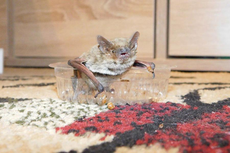Не бросайте в летучую мышь тапком!