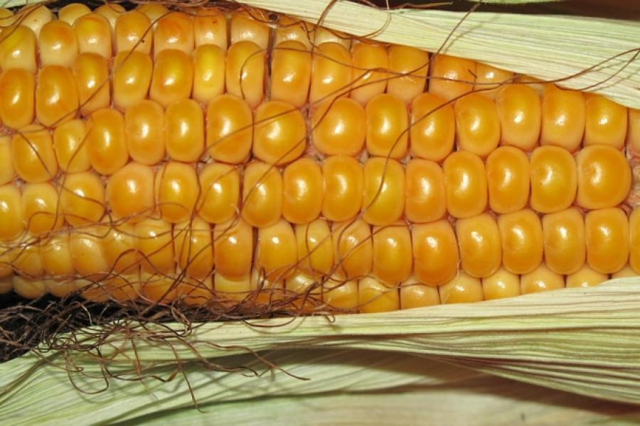 У Беларусі вырабляюць упакоўку з кукурузы