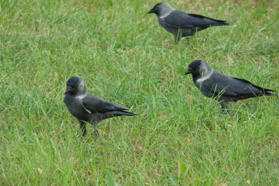 Птицы-интеллектуалы: как распознать врановых