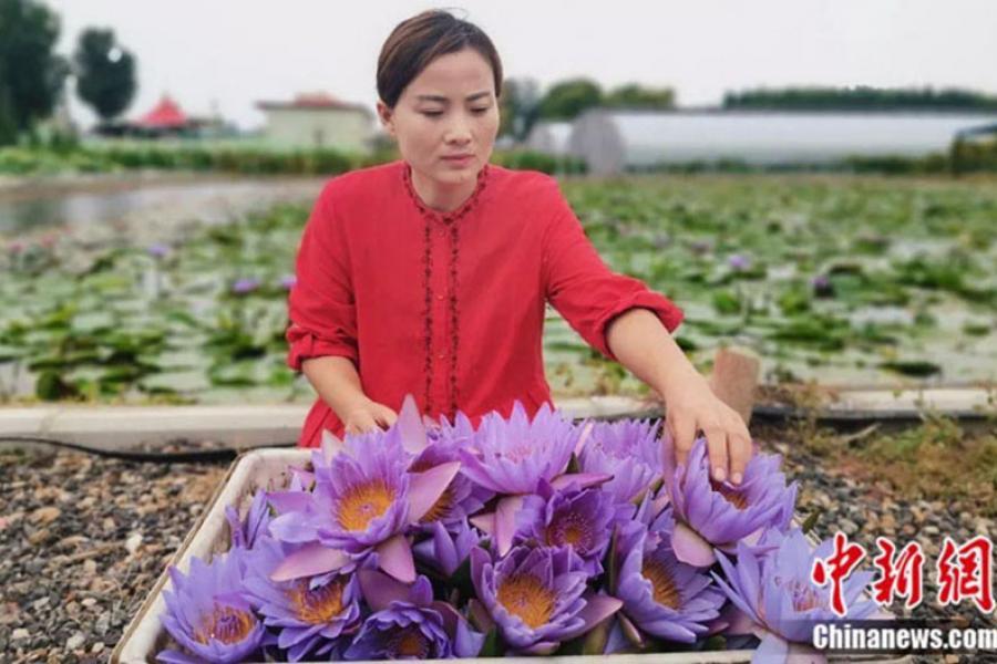 Китаянка зарабатывает на выращивании лотоса