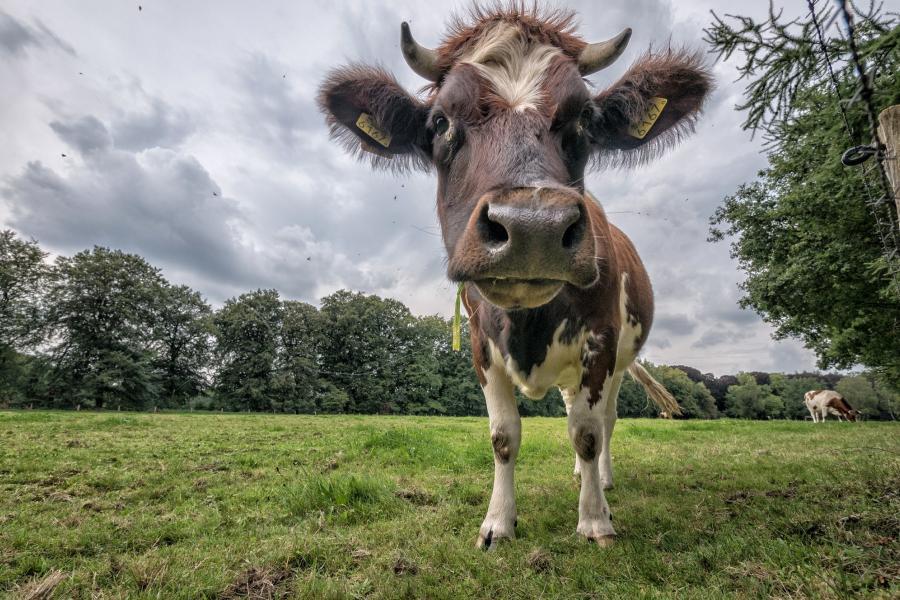 В Беларуси может подешеветь говядина