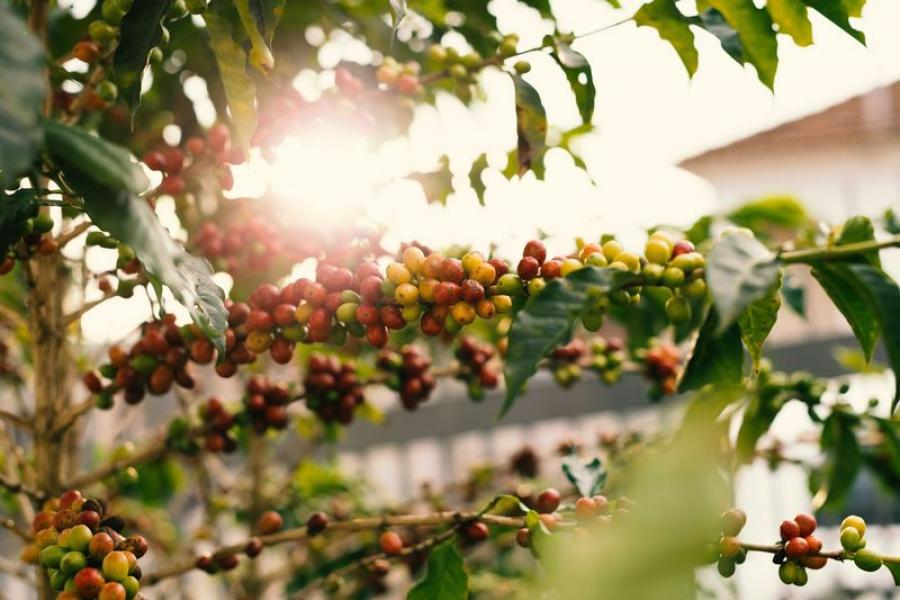 Кофе растим на подоконнике